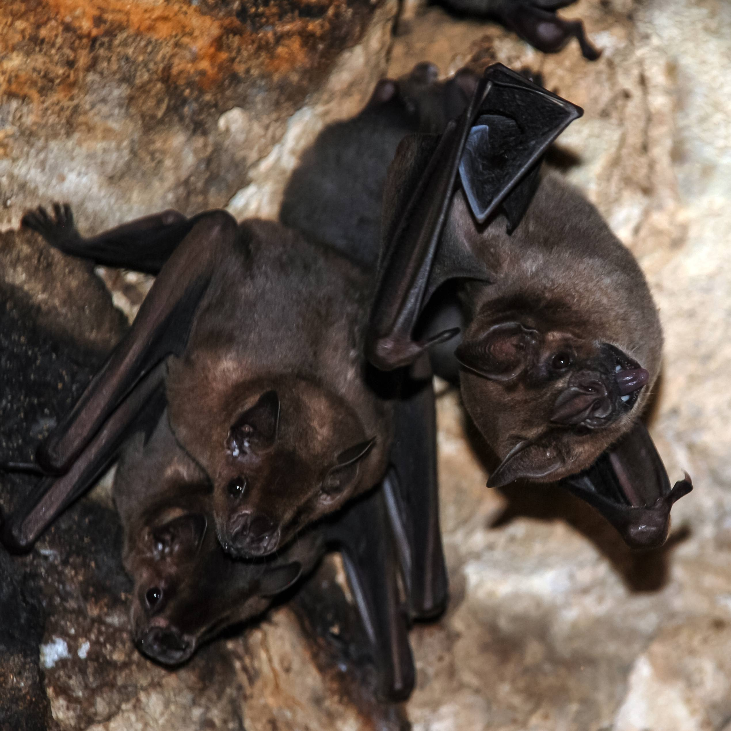 a group or a colony of bats hanging in a cave