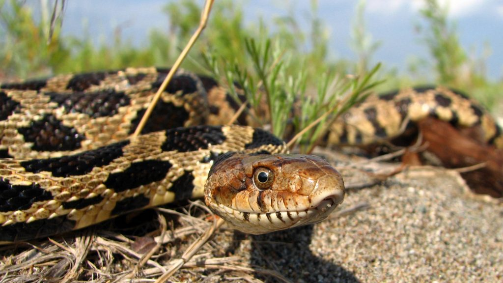 an adult rattlesnake or foxsnake on a road surrounded by grass and brush
