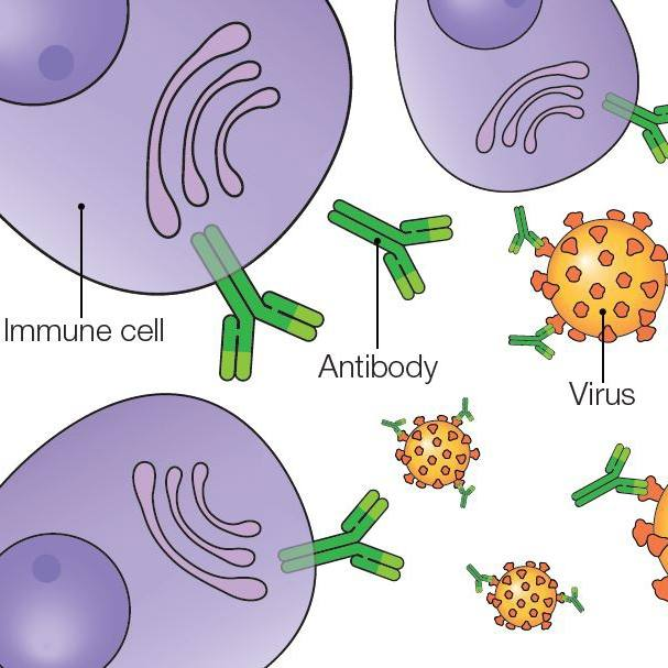 medical illustration of immune cells and antibodies and viruses