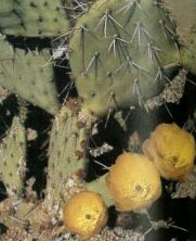 The Prickly Pear is a widely-distributed cactus in the Southwest. Bright yellow flowers begin to open in early April, continuing through late May.
