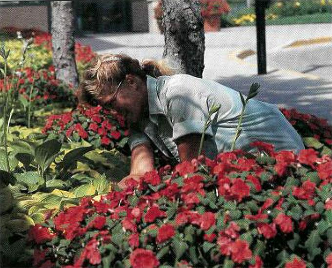 Kathy Pahl, summer groundskeeper, tends to shade-loving Hosta and Impatiens on the north side of Rochester Methodist Hospital's Eisenberg Building.