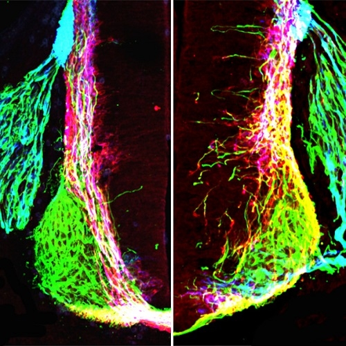 Nervous system doesn't form as we thought; finding could aid nerve repair