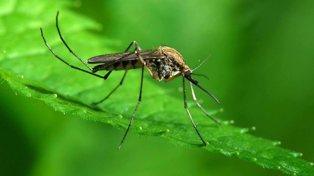 um close-up de um mosquito em uma folha verde