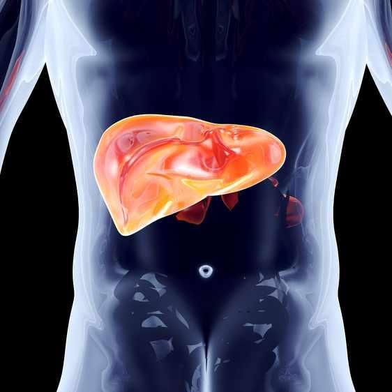 肝脏的解剖插图