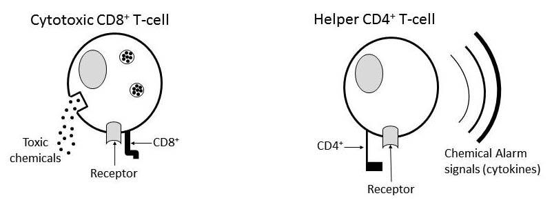 How are Helper T-Cells Made? And Yes, It's Important.