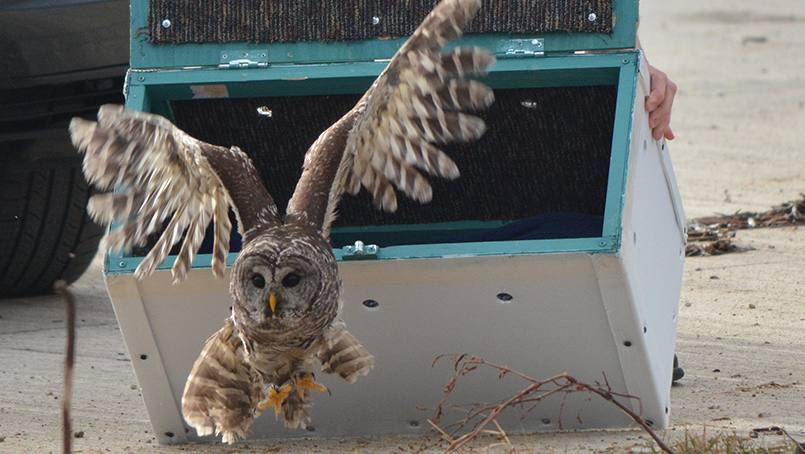 Michael Hutchinson and Dan Sawyer reported an injured owl near the Superior Drive Support Center. After making a full recovery, the owl was released on Dec. 11.