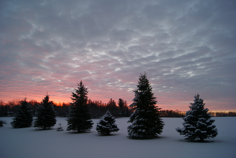 Sunset behind snow-covered pines