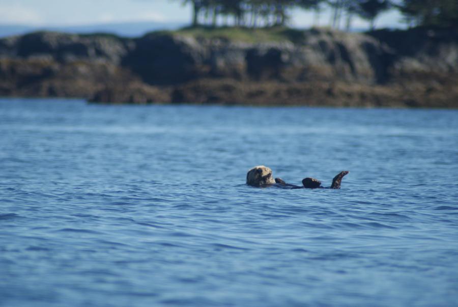 Alaskan Sea Otter Balanced in the Water
