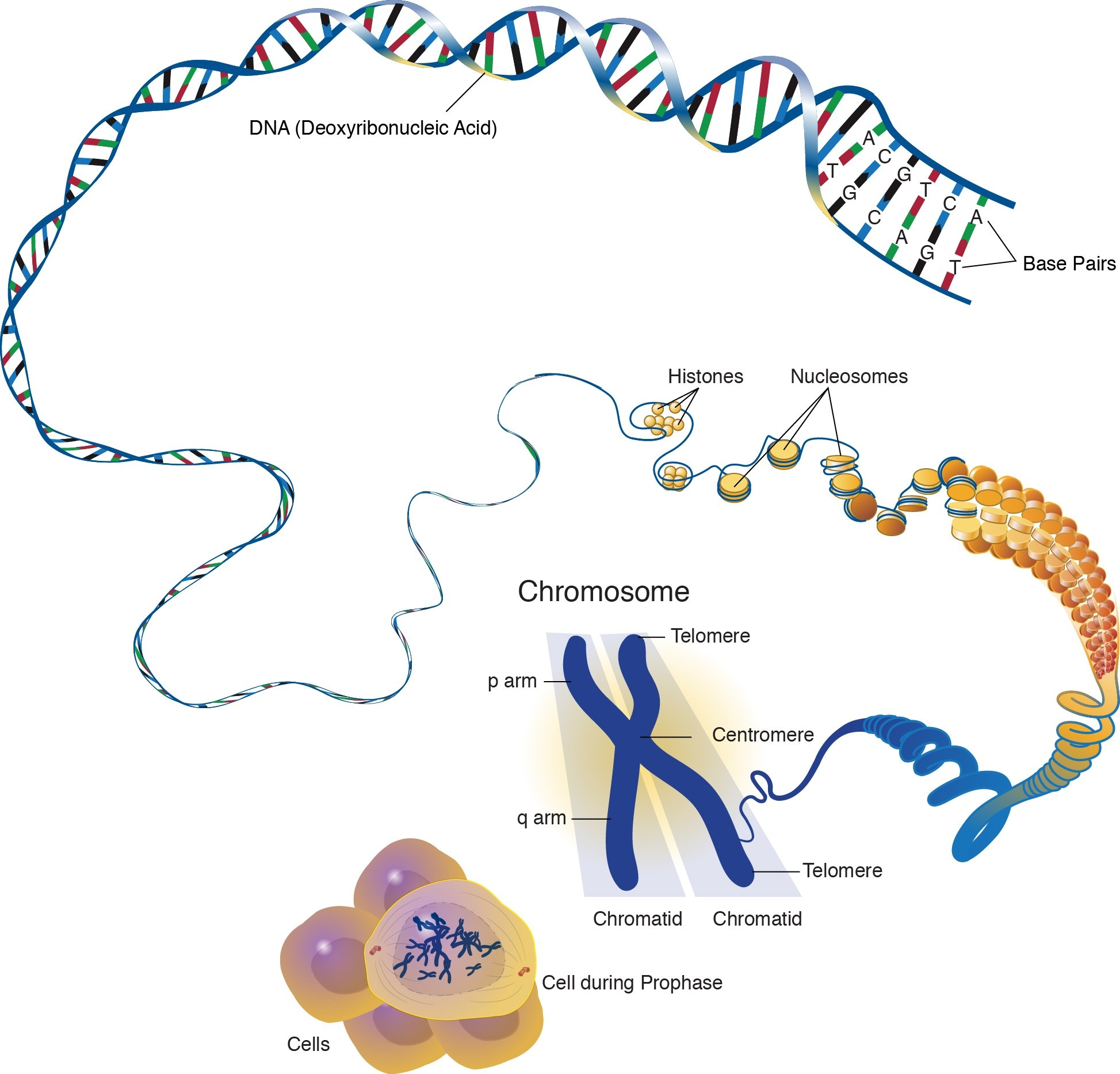 Cells and chromosome and DNA