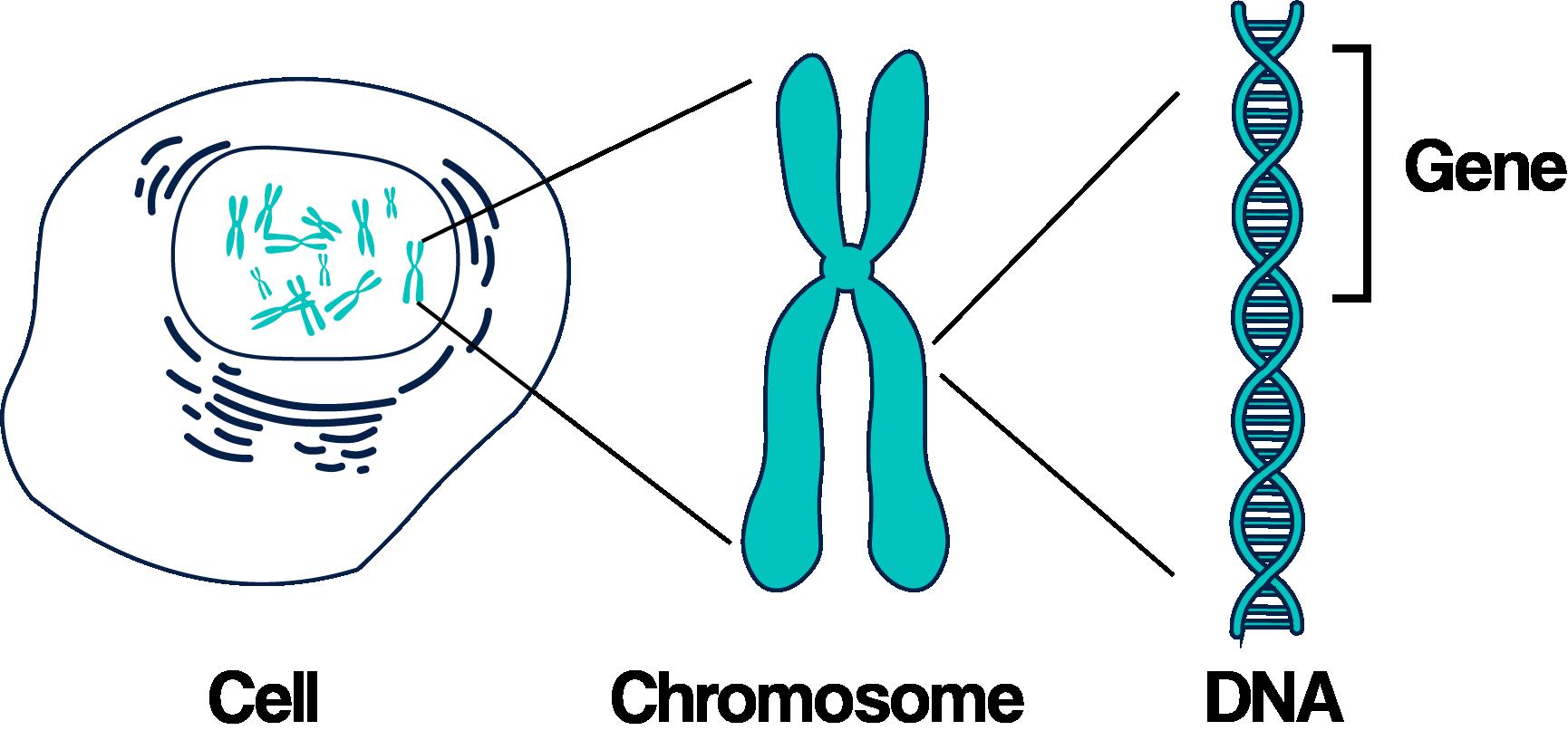 Chromosome graphic