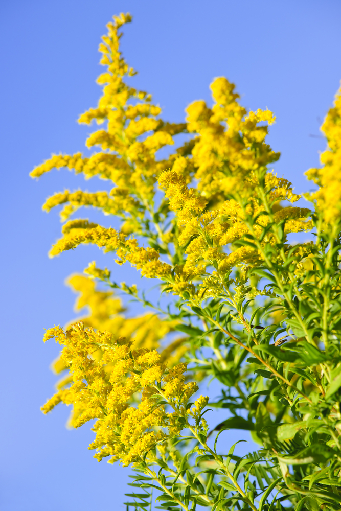 Picture of yellow goldenrod blooms with blue sky in background