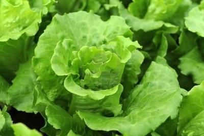 Green leafy head of lettuce
