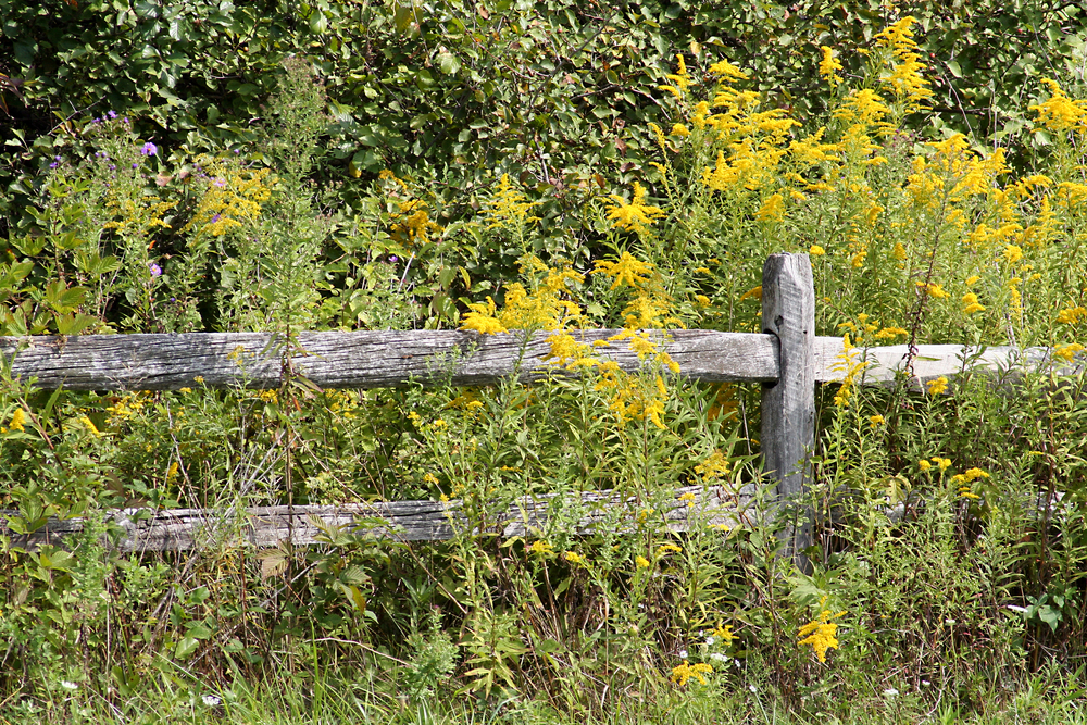 Wooden fence with yellow goldenrod flowers