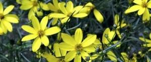 Imagen de la coreopsis amarilla