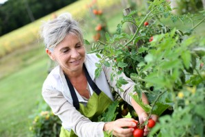 Woman working in tomato garden