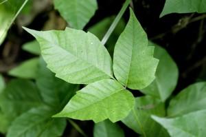 close up of three leaf poison ivy