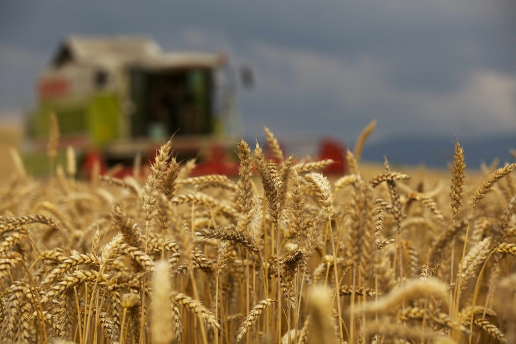 farm field of wheat with harvesting equipment in background