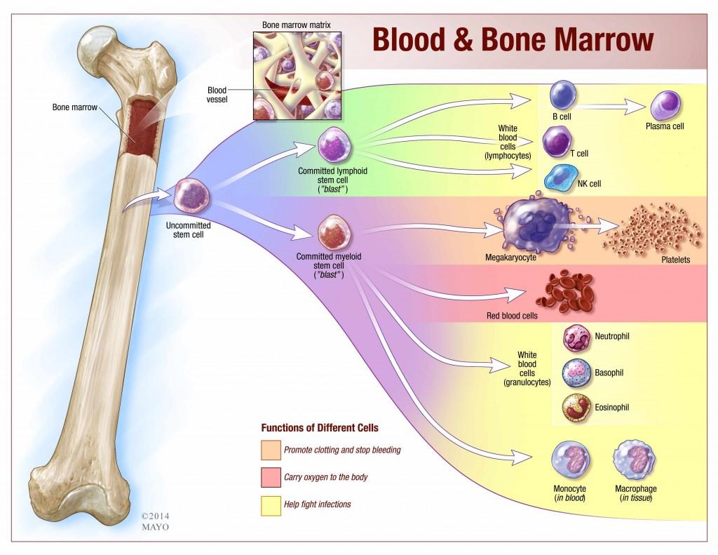 blood and bone marrow illustration