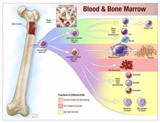 Ilustración sobre la sangre y la médula ósea