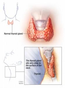 illustration of normal thyroid gland