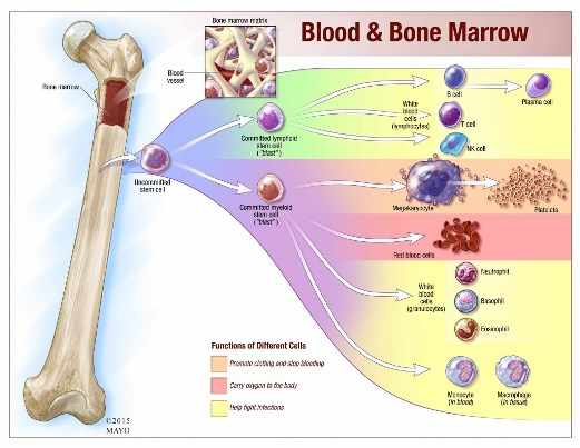 Ilustración de lo que hace la médula ósea y de dónde provienen los linfocitos