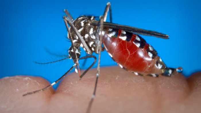 photograph of a female Aedes albopictus mosquito