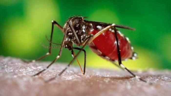 CDC image of an Aedes aegypti mosquito which carries the Zika virus