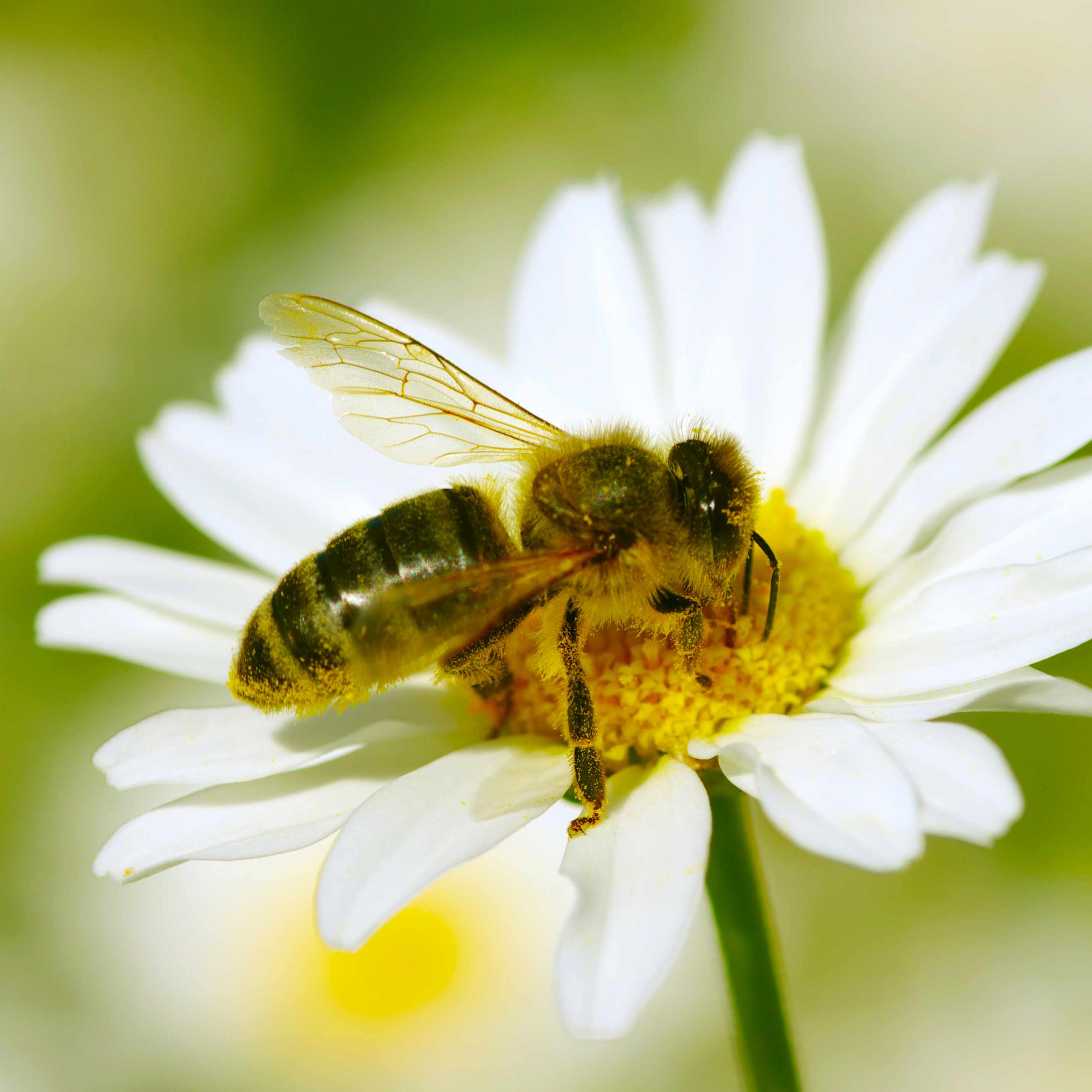a daisy with a bee pollinating the flower