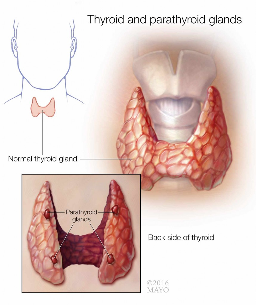 medical illustration of the thyroid and parathyroid glands