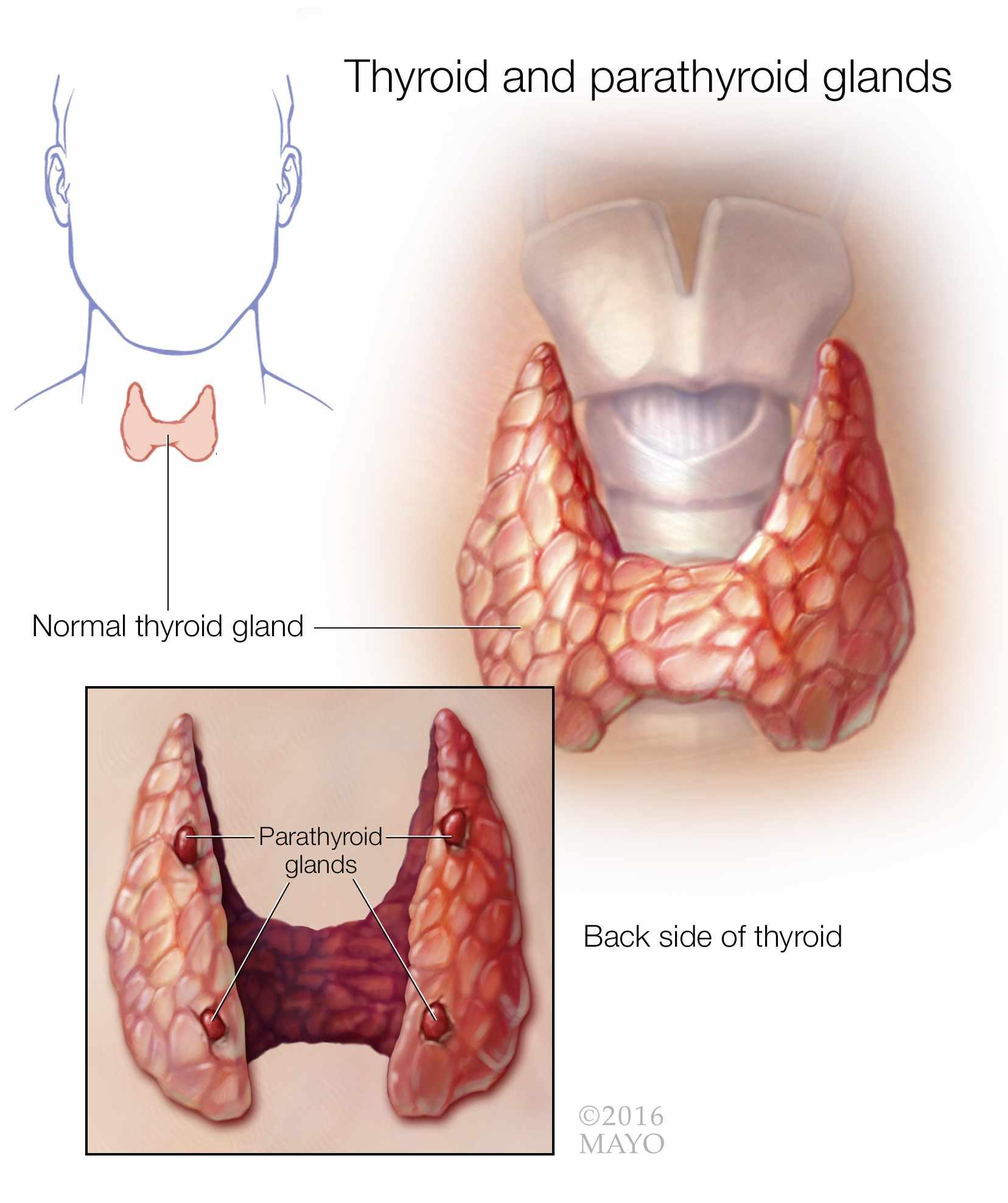 ilustración médica de las glándulas tiroides y paratiroides
