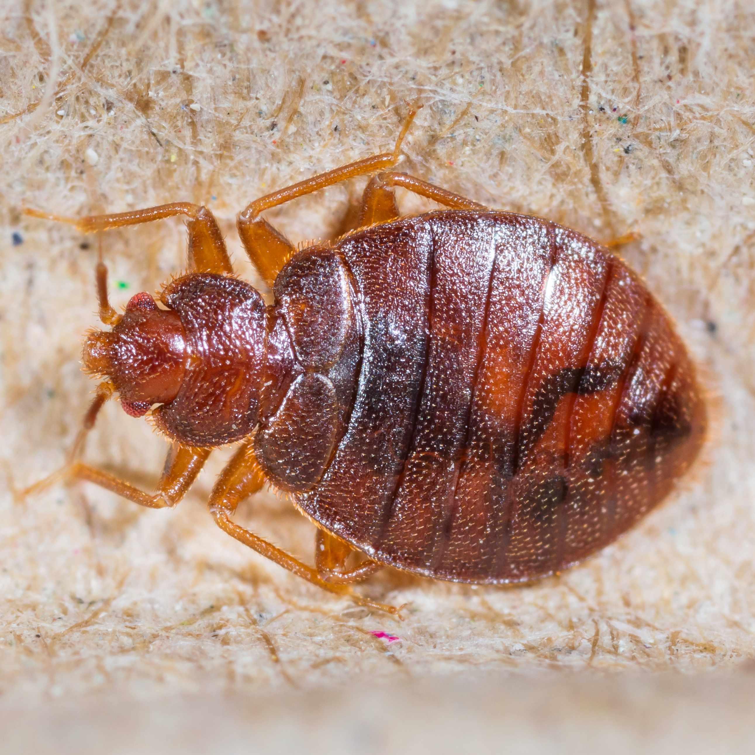 a closeup of a bedbug on a piece of cardboard
