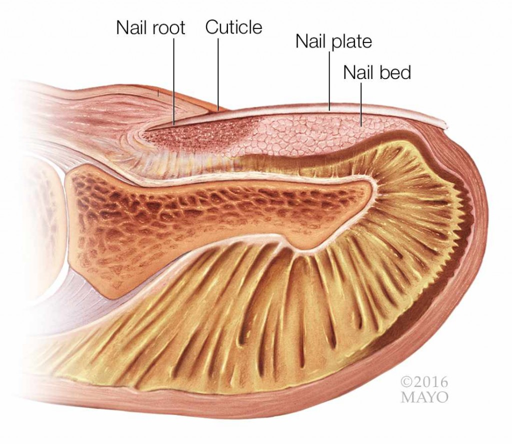 medical illustration of a fingertip and fingernail in cross section