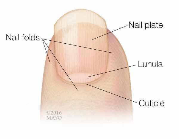 medical illustration of a fingertip and fingernail