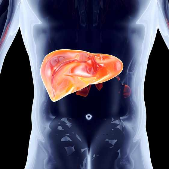 Anatomical illustration of the liver