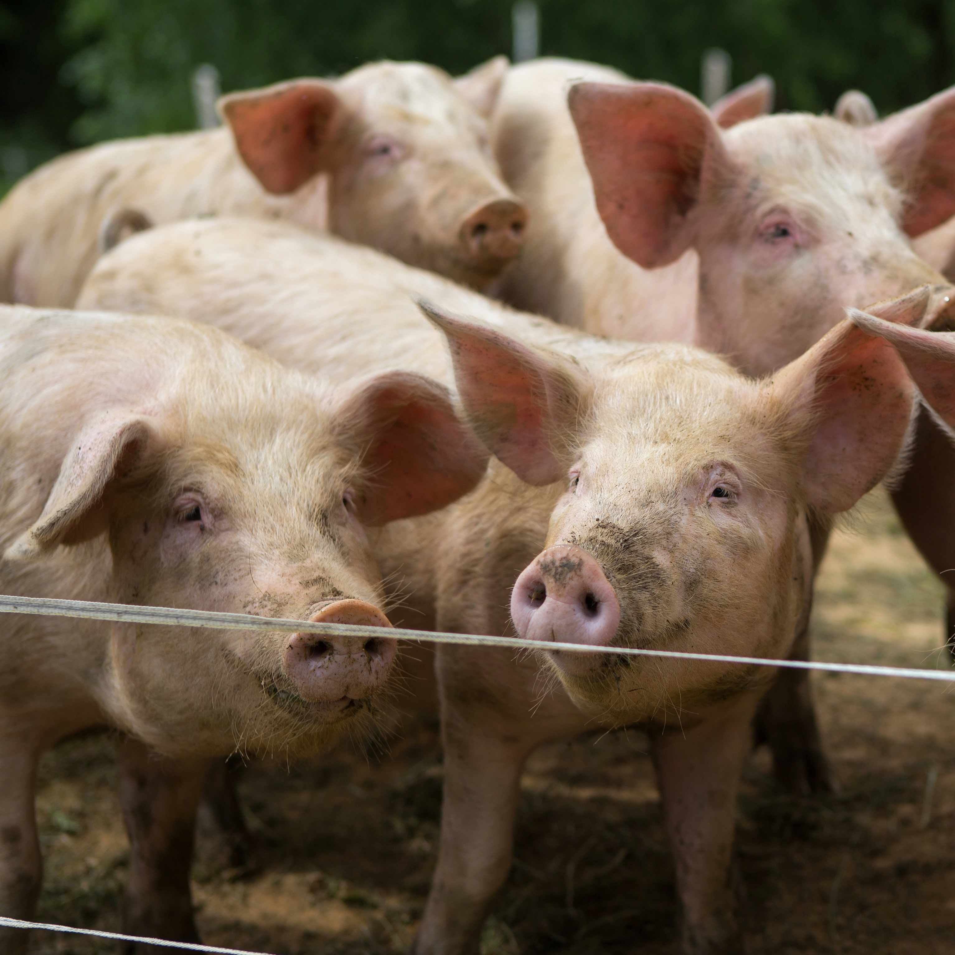 a hog pen full of pigs or swine on a farm