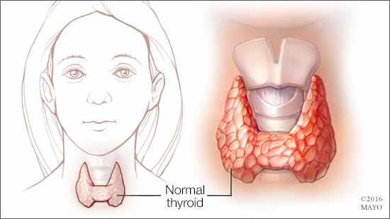 Ilustración médica de una glándula tiroides normal