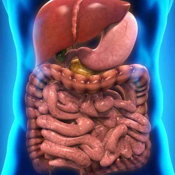 Illustration of Human Digestive System