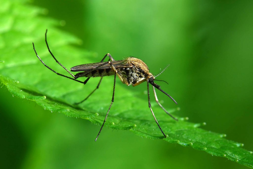a close-up of a mosquito on a green leaf