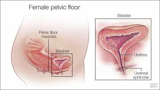 Ilustración médica del piso pélvico femenino