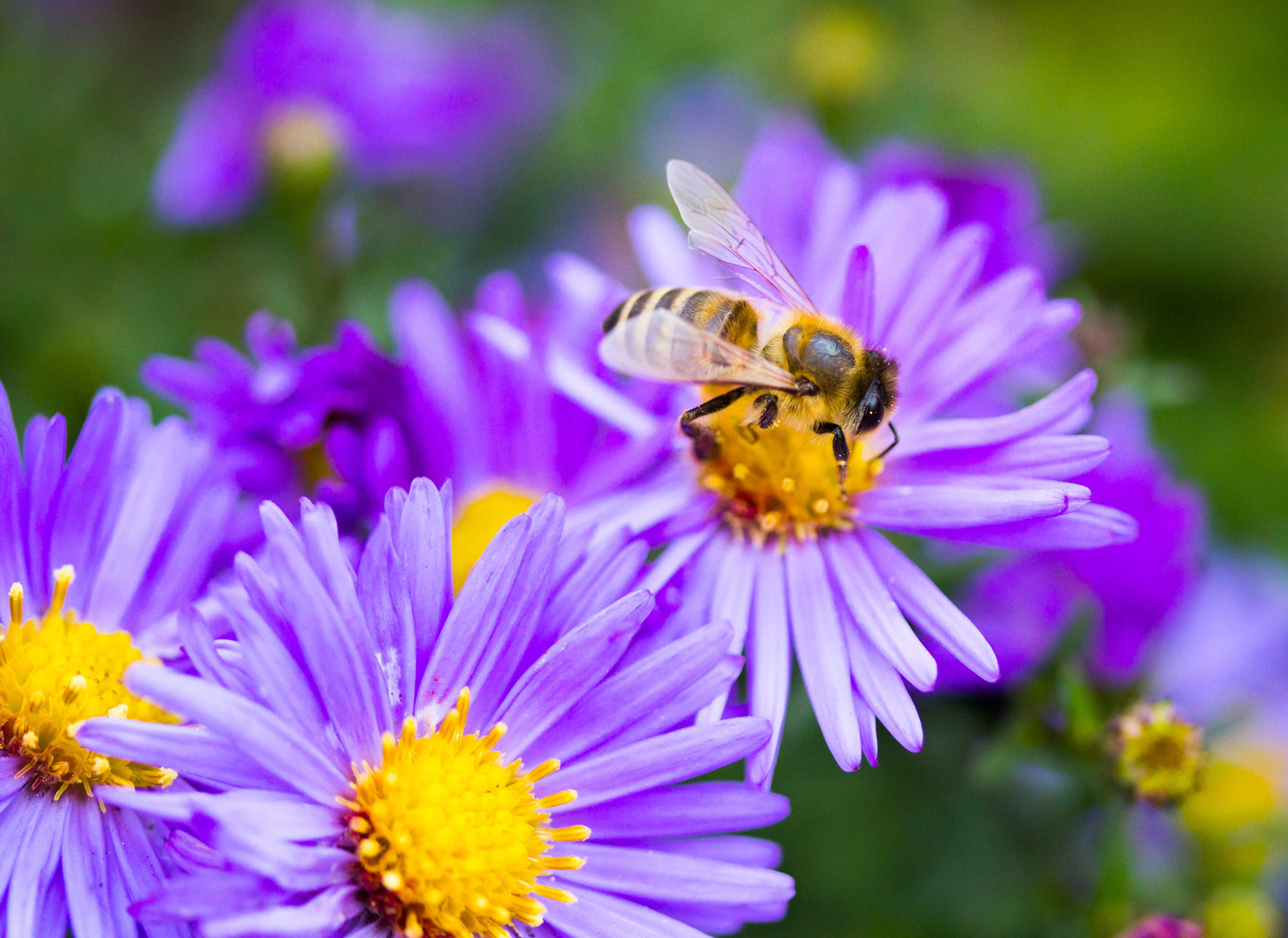 a bee on a purple flower collecting pollen