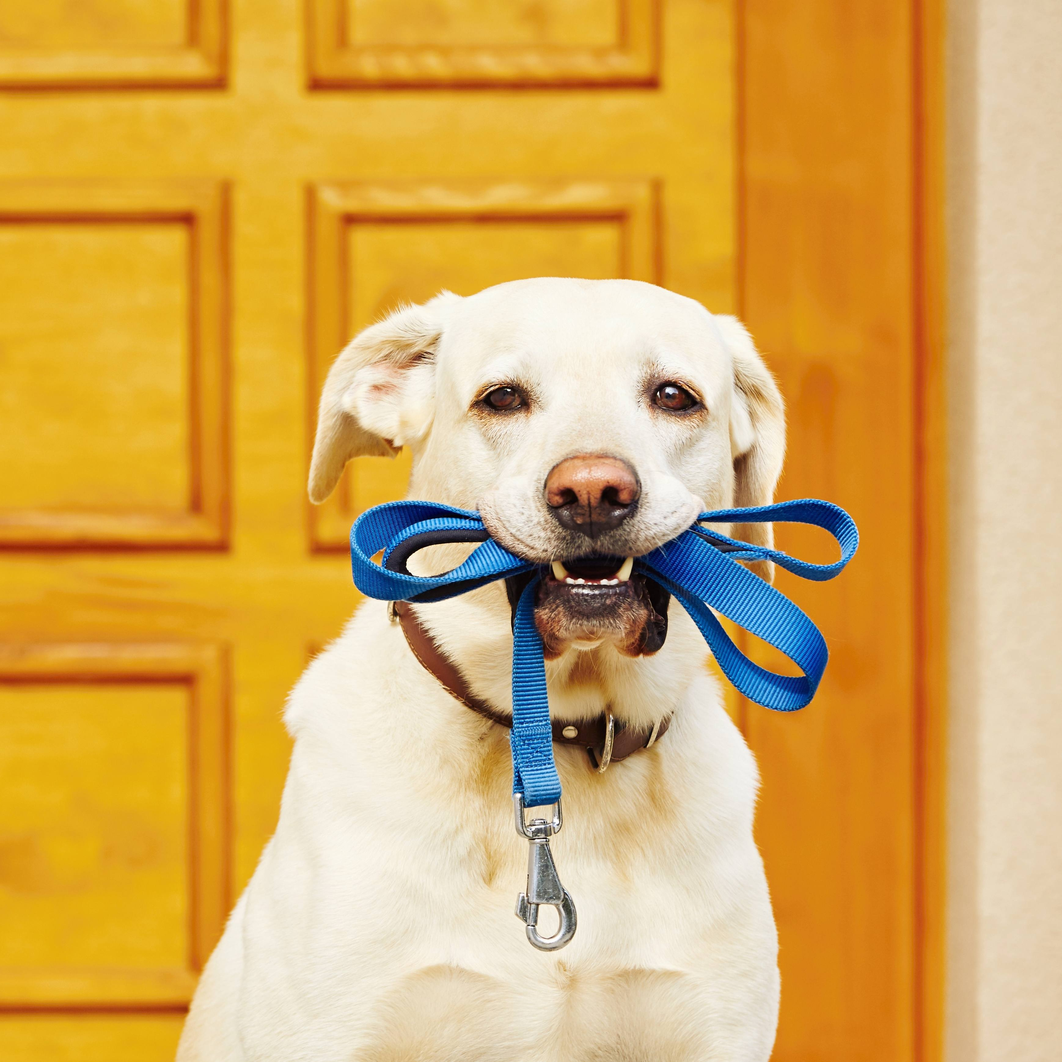 a Labrador retriever sitting in front of a door with its leash in its mouth, waiting to go for a walk