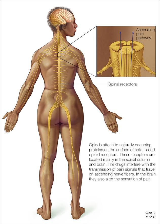 a medical illustration of the mechanism of opioid affect on pain sensation