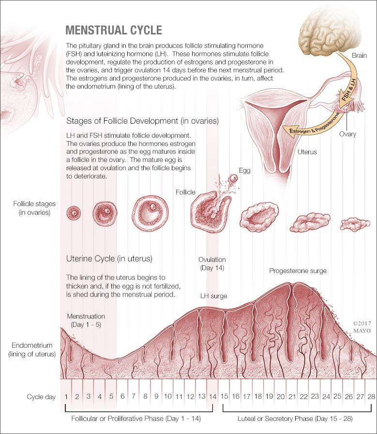 a medical illustration of the menstrual cycle