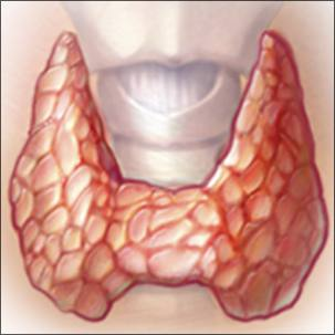 a medical illustration of the thyroid gland