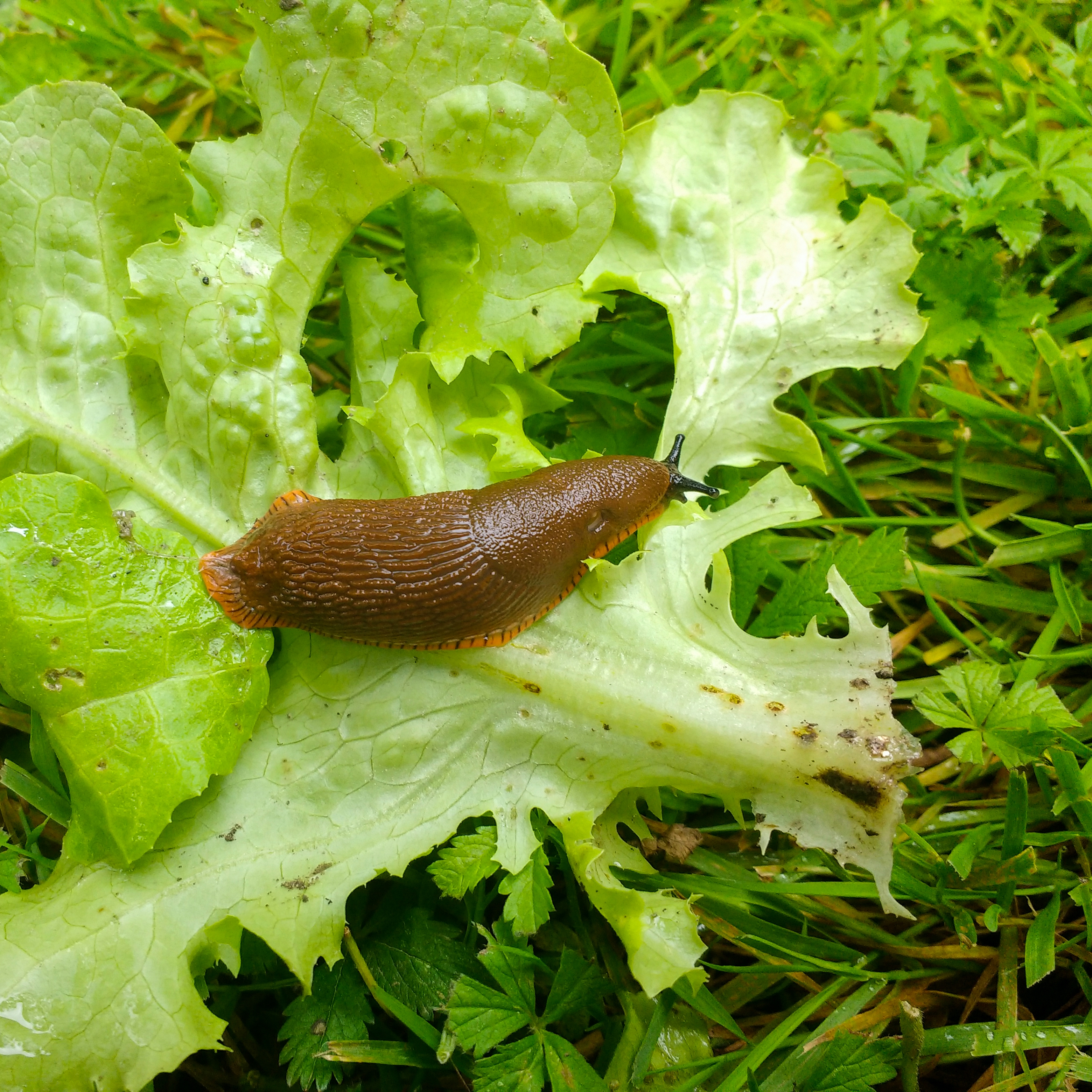 a closeup of a snail or slug crawling on a lettuce leaf representing vegetable pests and parasites
