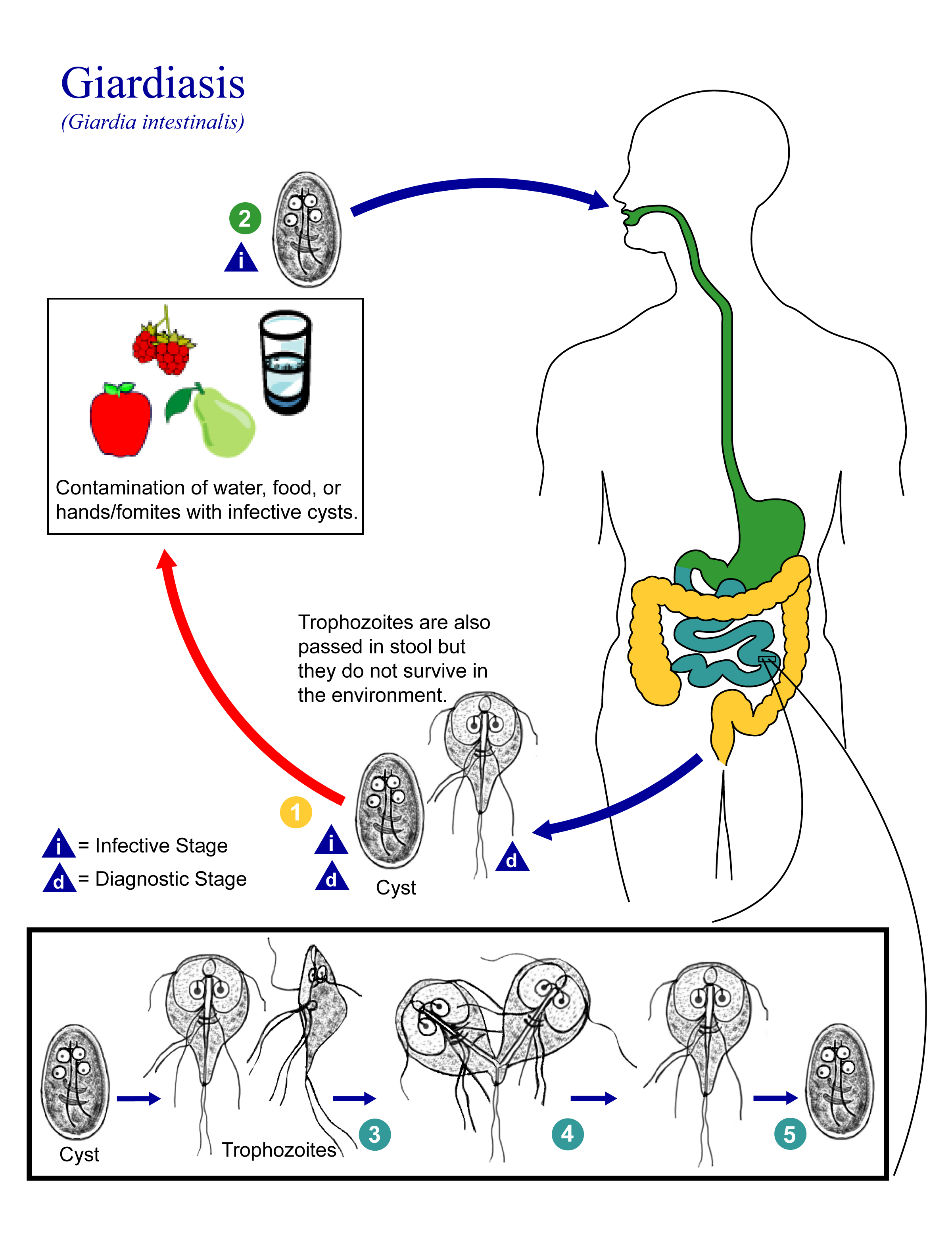 Graphic illustration depicting the Giardiasis cycle in humans