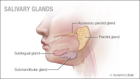 a medical illustration of salivary glands