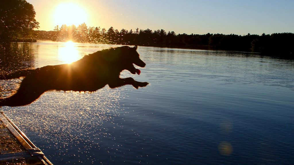 In the Loop therapy dog Piper, jumping into a lake