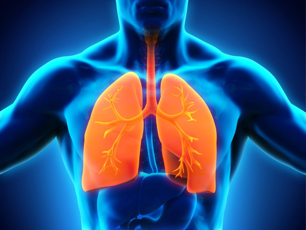 an illustration of lungs and trachea