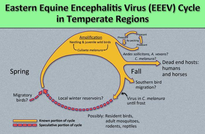 the methods by which the arbovirus Eastern equine encephalitis virus (EEEV) reproduces and amplifies itself in avian population. Courtesy: CDC